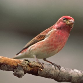 Purple Finch perched on a limb