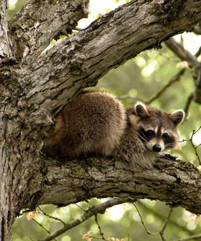 Raccoon perched on a branch in a deciduous tree