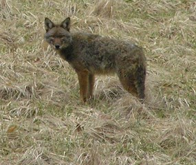 Lone Coyote standing in a grassy area