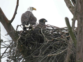 Eaglet and mother in the nest