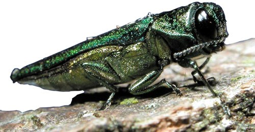 emerald ash borer a green bug sitting on a log