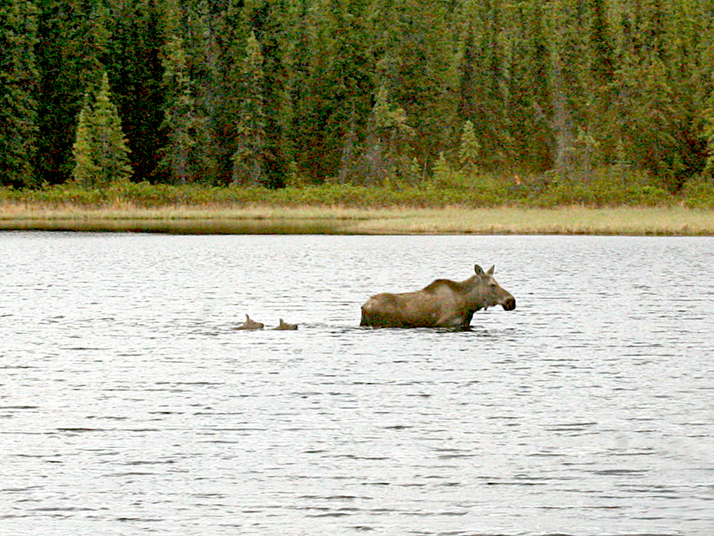 Moose and two calves