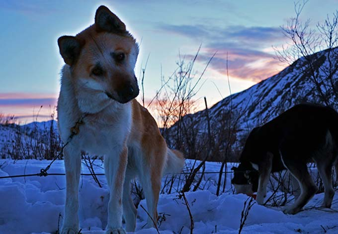 closeup of a tan and white sled dog, distant snowy mountains under a blue sky with pink-tinged clouds