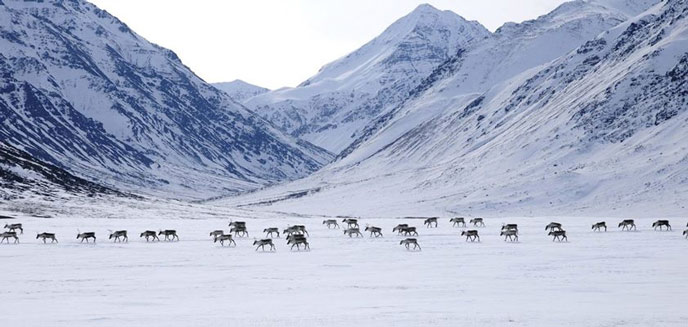 band of caribou on a snowy plain, in front of steep, snowy mountains