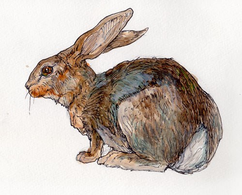 ink pen drawing of a snowshoe hare