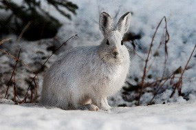A snowshoe hare in its white winter phase