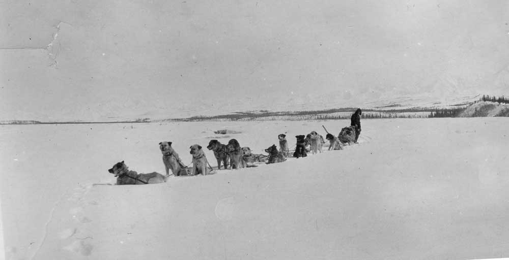 historic photo of man mushing a large team of dogs on a frozen river