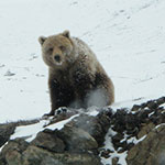 large grizzly bear sits on snowy rocks