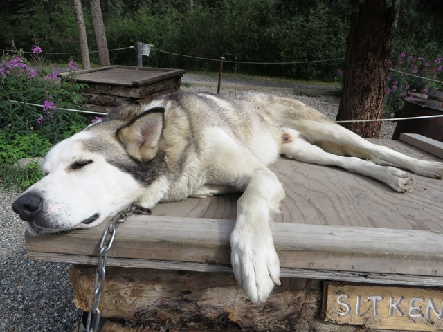 Sled dog sleeps on house