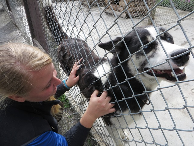 A sled dog leans against the fence and is petted by a visitor
