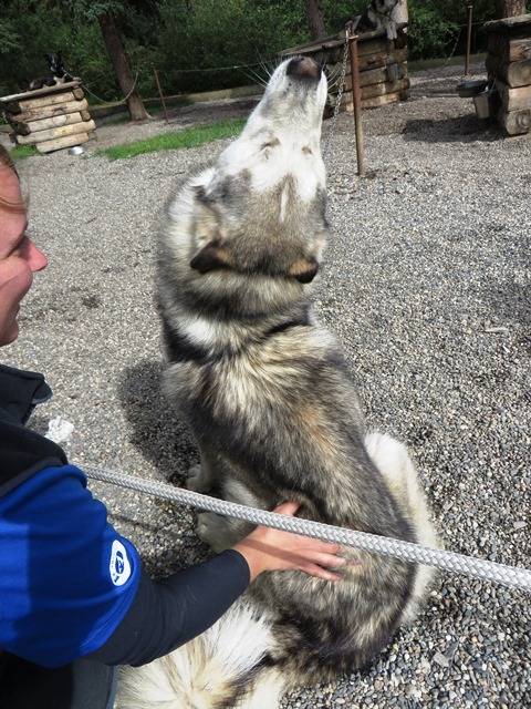 A sled dog tilts his head back in happiness as he is petted by visitors