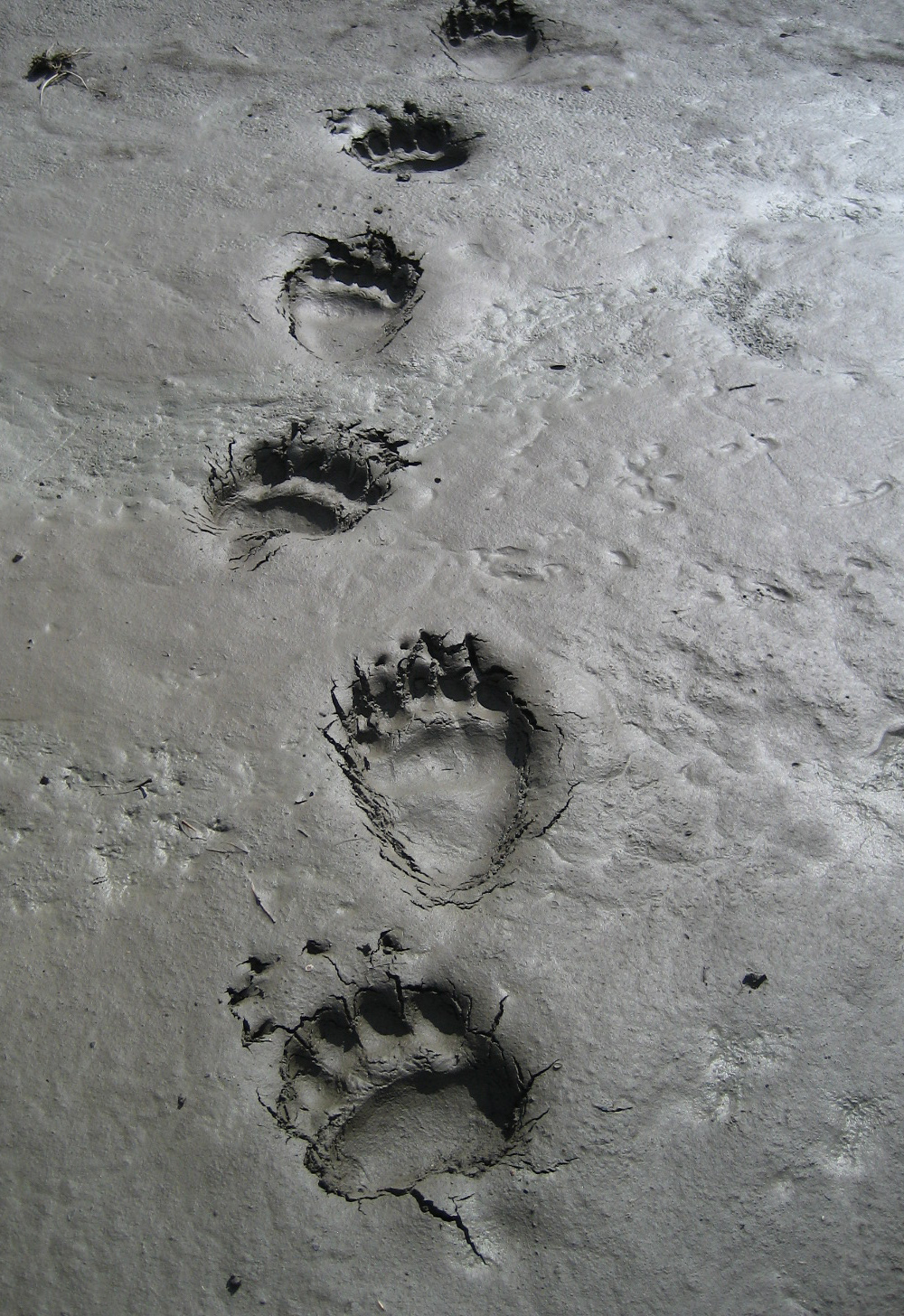 Grizzly Bear Tracks on the Toklat River