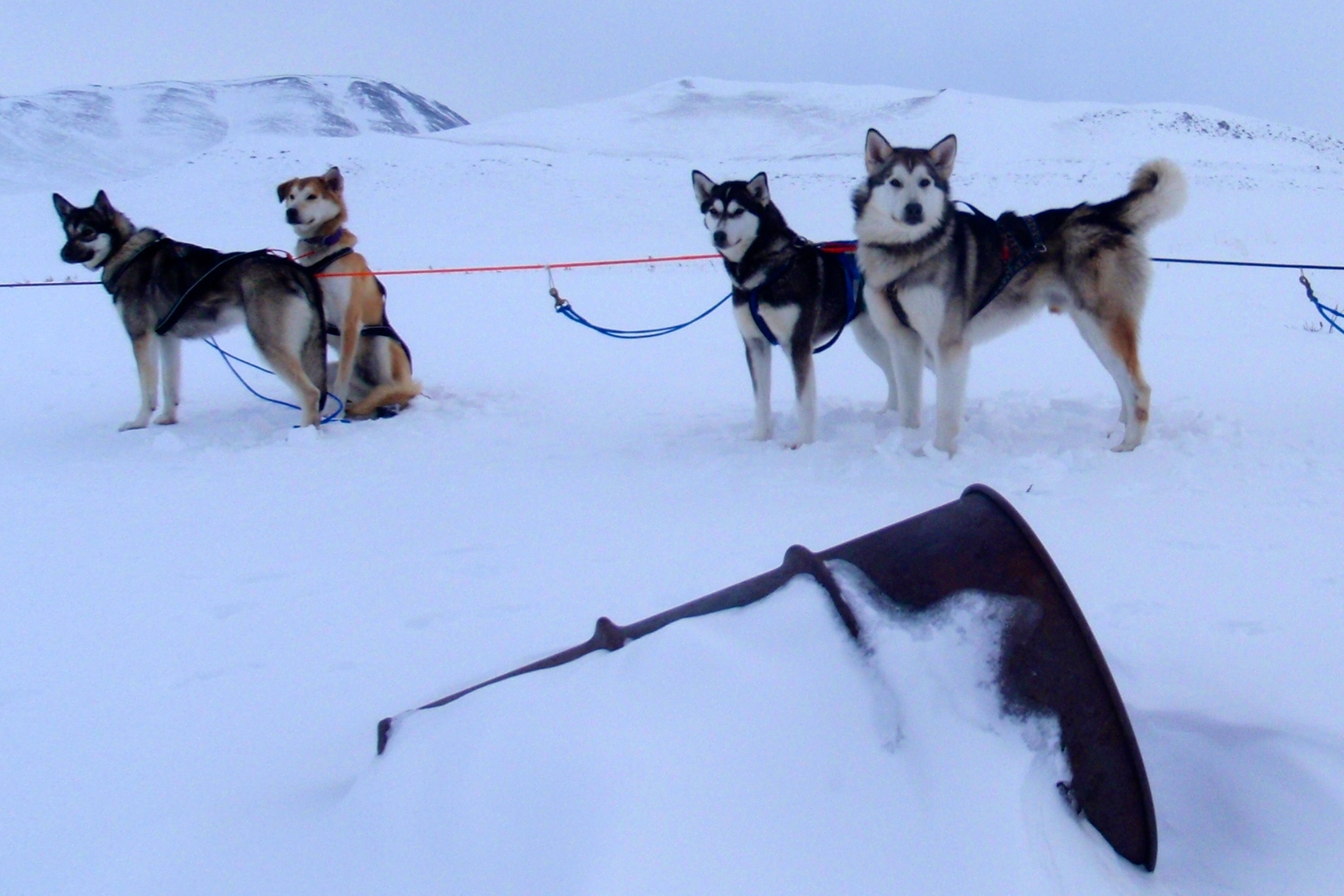 sled dogs and barrel