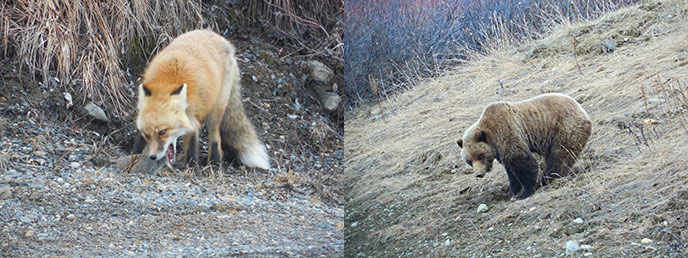 two images; one of a red fox eating a headless squirrel; the other of a grizzly bear on a hillside