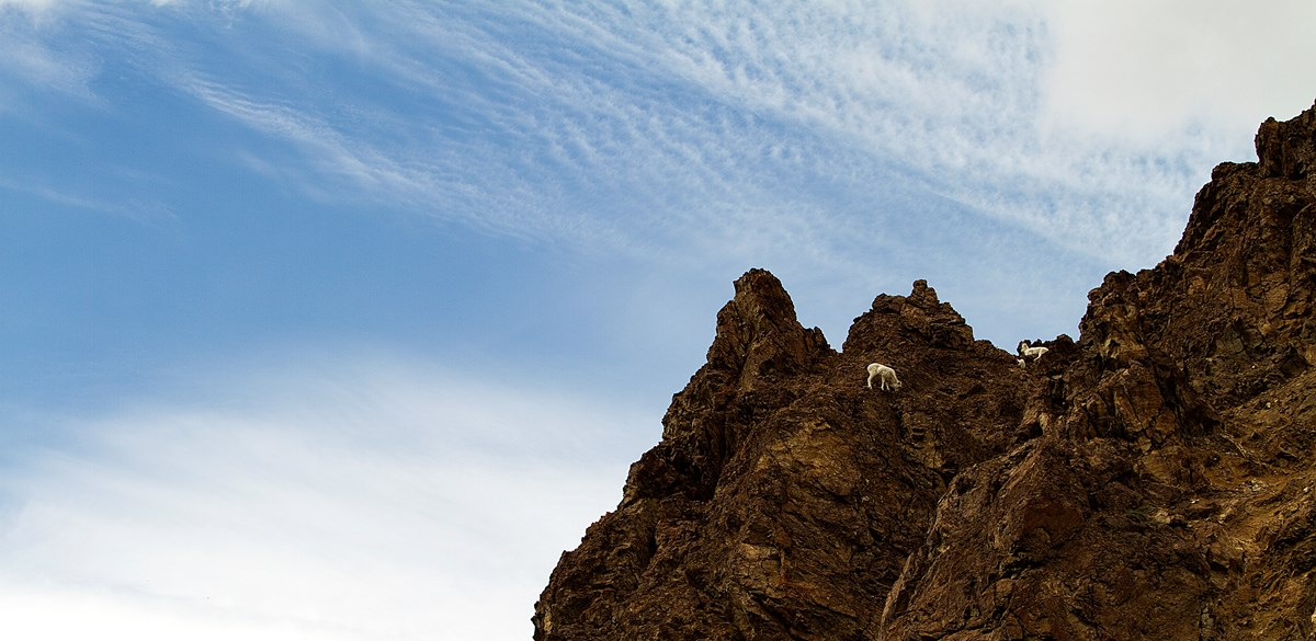 Three Dall sheep stand on a sheer cliff