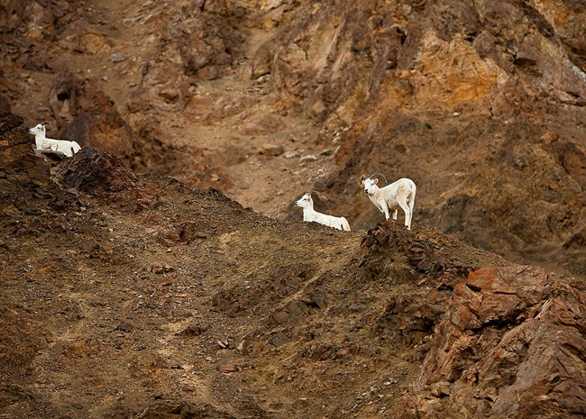 Three Dall sheep rest on steep slope