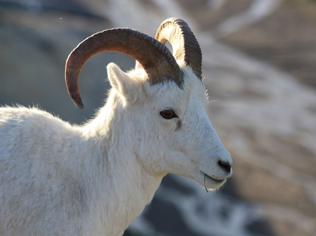Dall sheep ewe eats grass