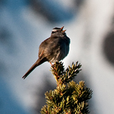 a small bird perched atop a spruce tree