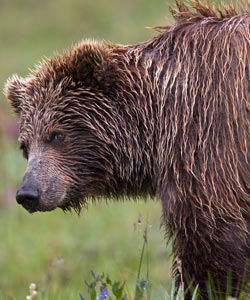 Wildlife at Denali can be thrilling to observe