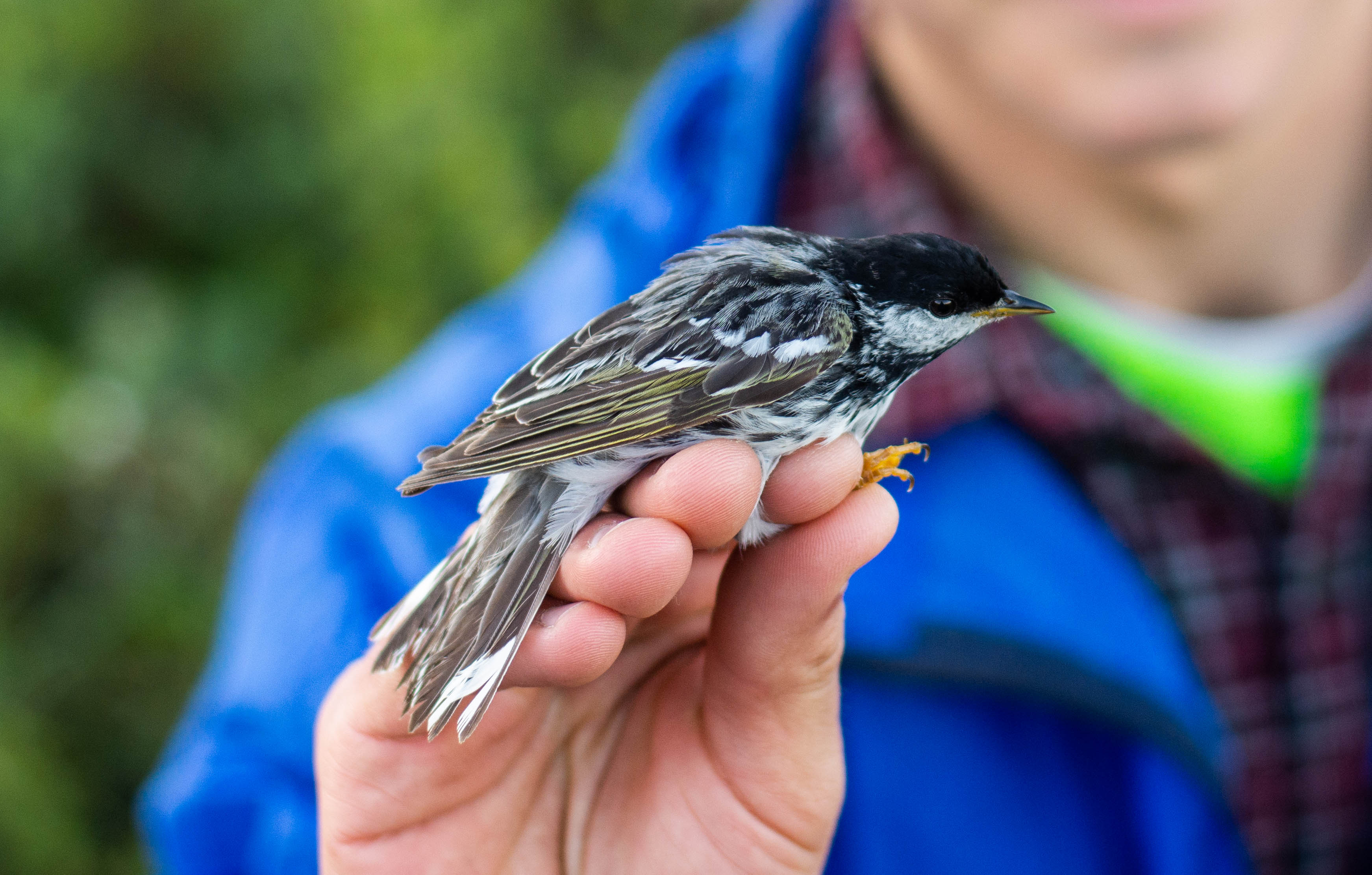Researcher holds small song bird