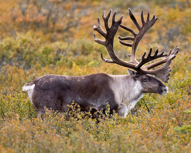 caribou stands in yellow shrubs