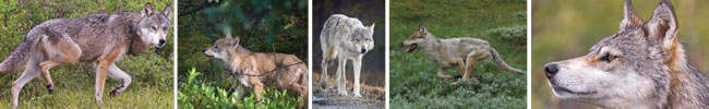 Wild wolves in Denali
