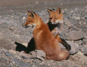 Image of two red foxes