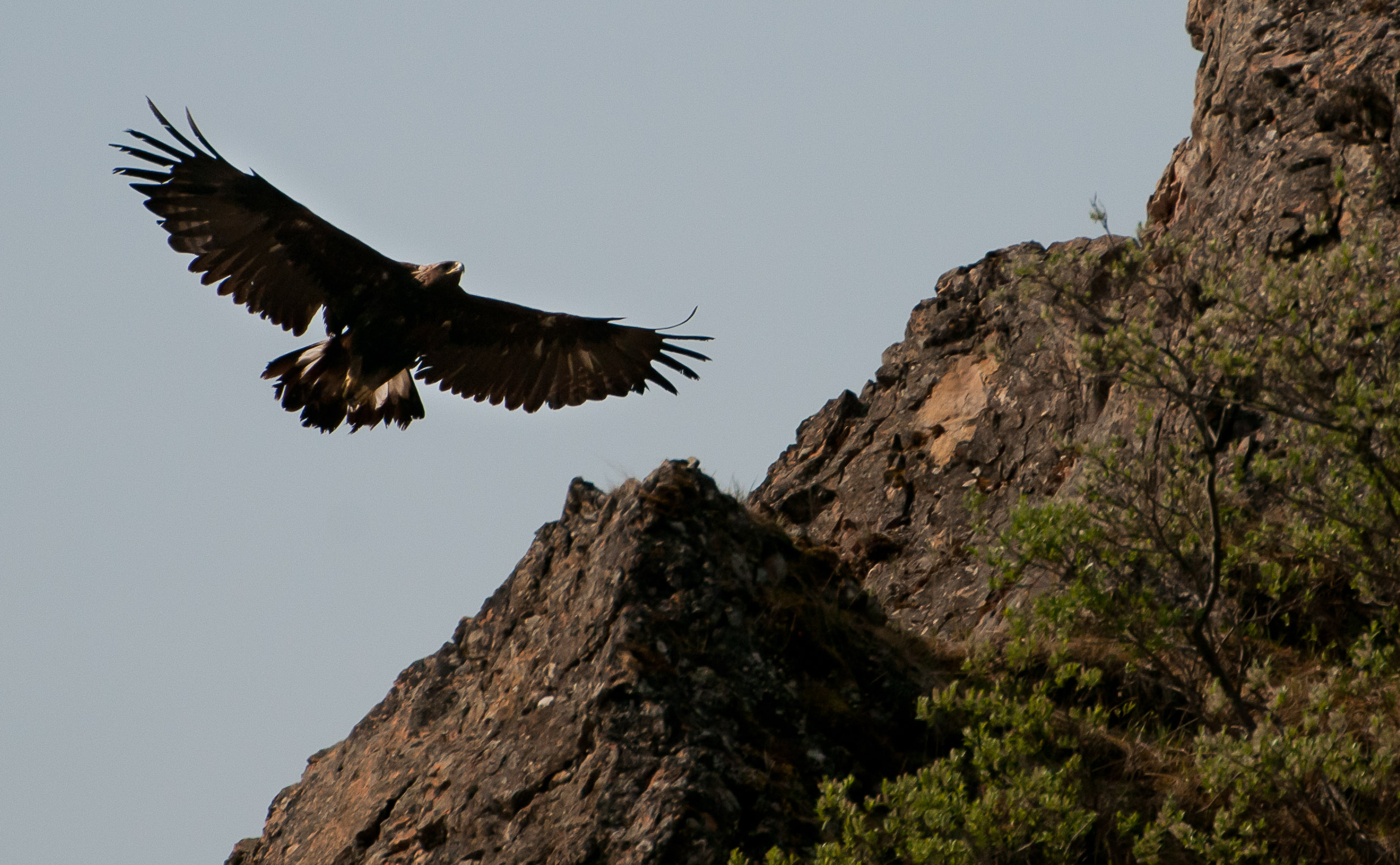 Golden eagle flies through air