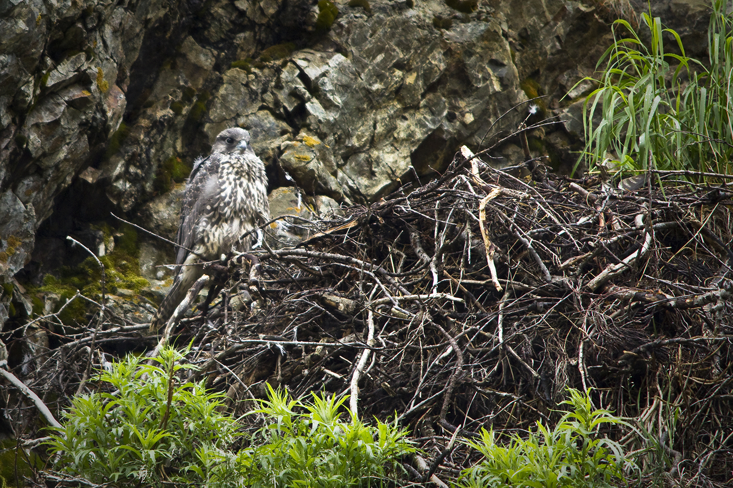 Young falcons perch in nest