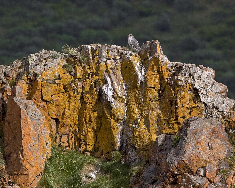 Falcon perches on rocky cliff