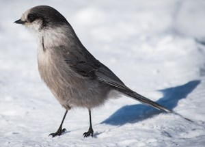 Gray bird stands on snow