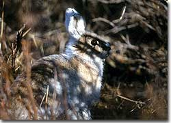 In Denali National Park and Preserve, snowshoe hares are an important prey item for northern hawk owls