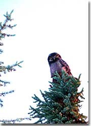 Northern hawk owls are most often spotted perched on the tops of trees
