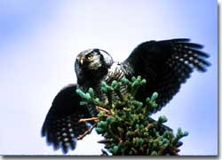 An adult northern hawk owl takes flight from the top of a spruce tree in Denali National Park and Preserve