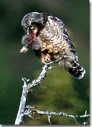 Unlike many other owls, northern hawk owls hunt primarily by day