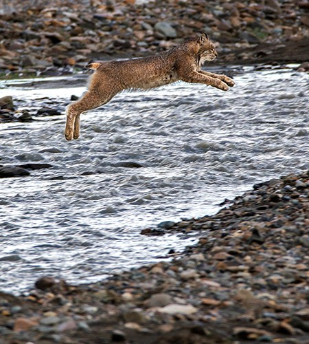 a lynx jumps across a braided river channel