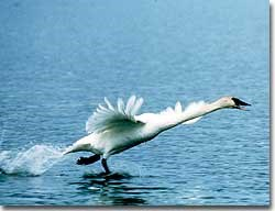 Trumpeter swans must be wary of natural predators such as the golden eagle, red fox, coyote, wolf, black and brown bear