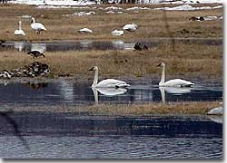 Swans are highly social during the non-breeding seasons