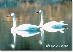 Trumpeter swans are believed to mate for life