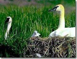Hatching can take up to 12 hours. During hatching, cygnets use an egg tooth to break the shell and then force their legs and neck through the crack