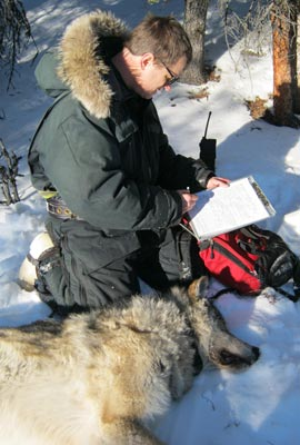 Wolf biologist at work