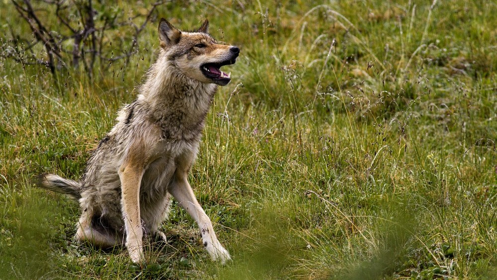a wolf sits in the grass with its mouth open