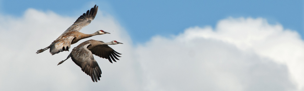 two sandhill cranes fly across the sky