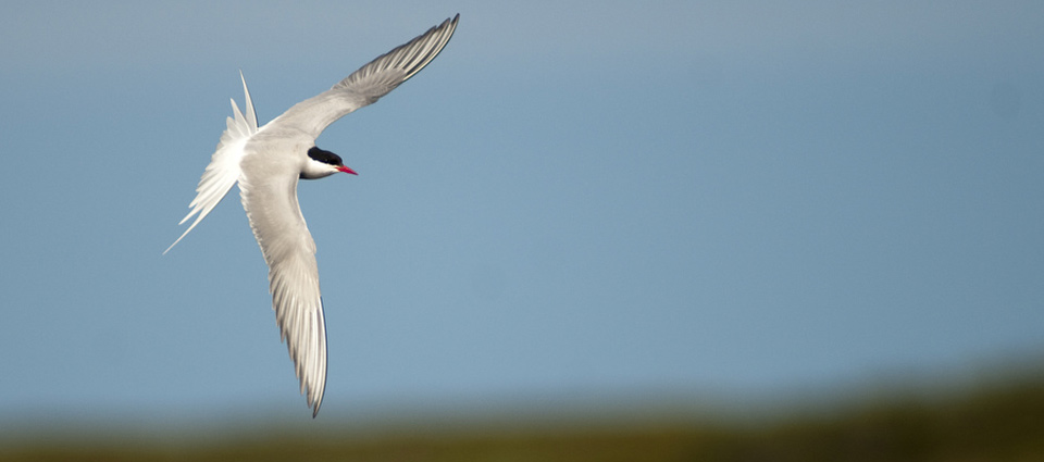 an arctic tern soars through the air