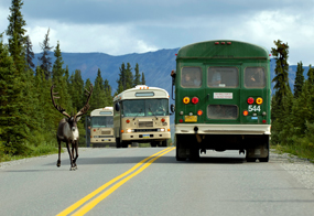 image of Caribou on park road with buses