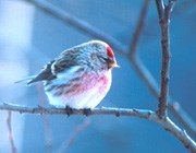 Common redpoll.