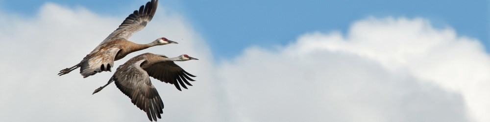 two sandhill cranes fly through the sky