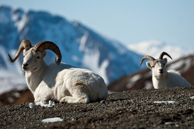 Two Dall rams