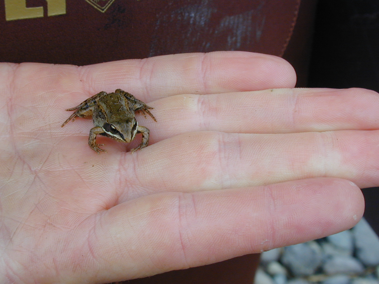 Adult  wood frog resting on a human hand.