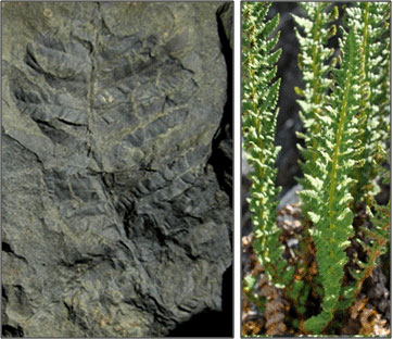composite image of fossilized fern and living fern